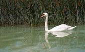 Cigno sul lago balaton, ungheria — Foto Stock