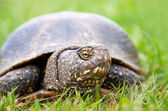European pond turtle (Emys orbicularis) — Stock Photo
