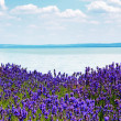 Royalty-Free Stock Photo: Lavender at Lake Balaton,Hungary