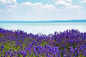 Lavender at Lake Balaton,Hungary — Stock Photo