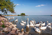 Swans are eating at Lake Balaton, Hungary — Stock Photo