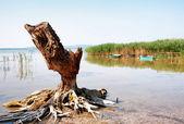 Old bole at Lake Balaton,Hungary — Stock Photo
