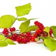 Rubus saxatilis or Stone Bramble — Stock Photo