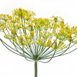 Dill on a white background — Stock Photo