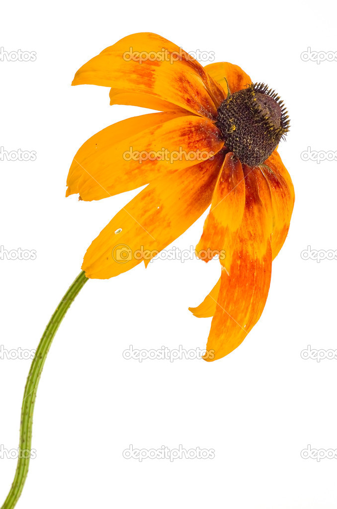 Garden flower, it is isolated on a white background — Stock Photo #12046130