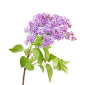 Lilac isolated on white background — Stock Photo