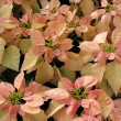 Poinsettia — Stockfoto