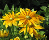 Black-Eyed Susan — Stockfoto