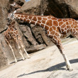 Giraffes — Stock Photo #11260234