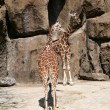 Giraffes — Stock Photo #11260238