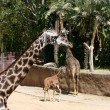 Giraffes — Stock Photo #11260311