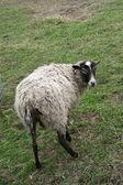 овцы на ферме — Стоковое фото