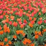 Tulips — Stock Photo #11809677