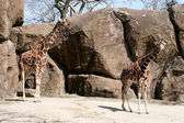 Giraffes — Stockfoto