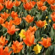 Tulips — Stock Photo #11862494