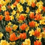 Tulips — Stock Photo #11862500