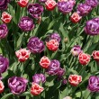 Tulips — Stock Photo #11862516