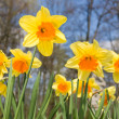 Daffodil flowers in spring — Stock Photo