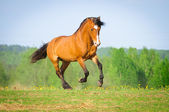 Bay horse runs gallop in summer — Stock Photo