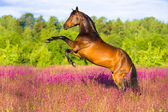 Bay horse rearing in pink flowers — Stock Photo
