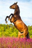 Bay horse rearing up on floral background — Stock Photo