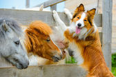 Pony and Border Collie dog, dating — Stock Photo
