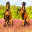 Two horses rearing up on the pink flowers meadow — Stock Photo