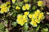 Chrysosplenium alternifolium — Stock Photo