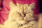 Schattig perzische kat op zoek ontspannen — Stockfoto