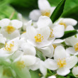 Jasmin flowers - Stock Photo