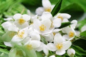Jasmin flowers — Stock Photo