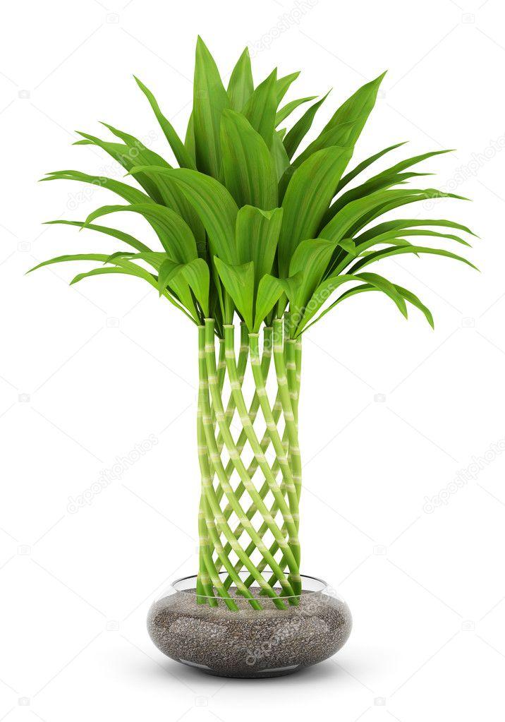Pianta di bamb in vaso isolato su sfondo bianco foto - Bambu cuidados en maceta ...