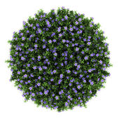 Top view of dwarf periwinkle flowers isolated on white background — Stock Photo