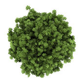 Top view of japanese aralia bush isolated on white background — Stock Photo
