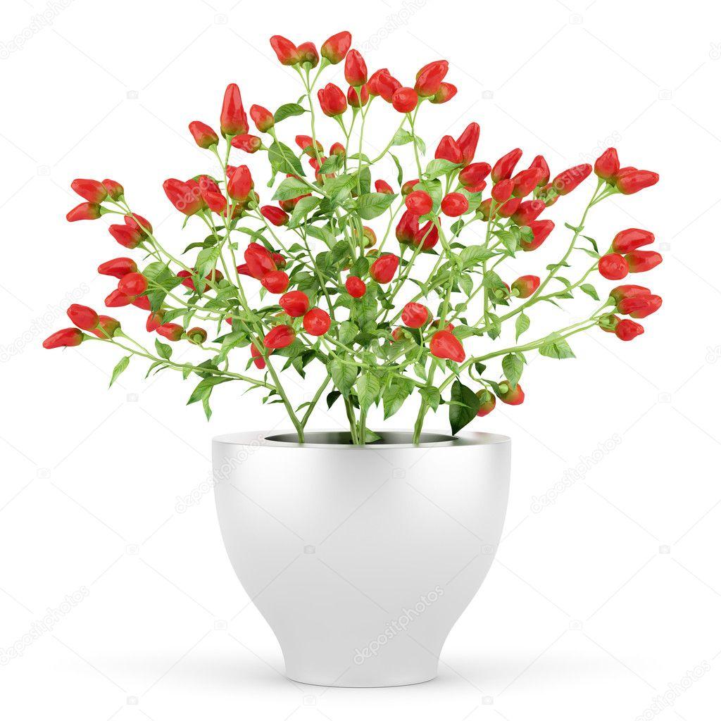 paprika pflanze im topf die isoliert auf wei em. Black Bedroom Furniture Sets. Home Design Ideas