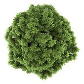 Top view of bottlebrush buckeye bush isolated on white background — Stock Photo