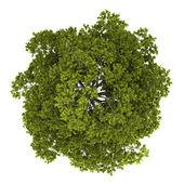 Widok z góry na białym tle drzewo klon pospolity — Zdjęcie stockowe