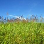 Field of green fresh grass — Stock Photo