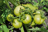 Green tomatoes growing on the branches — Stock Photo