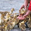 Ducks walking down poultry yard - Stock Photo
