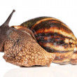 Giant African snail crawling — Stock Photo