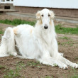 Borzoi (greyhound) dog — Stock Photo #10913922