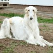 Stock Photo: Borzoi (greyhound) dog