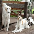 Group of Russian borzoi dogs resting — Stock Photo