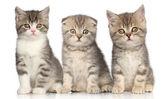 Group of Scottish kitten — Stock Photo