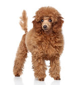 Toy Poodle puppy on a white background — Stock Photo