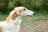 Russian borzoi dog portrait — Stock Photo