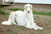 Borzoi (greyhound) dog — Stock Photo