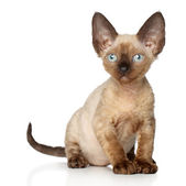 Devon Rex kitten on white background — Zdjęcie stockowe