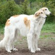 Stock Photo: Russiborzoi hounds